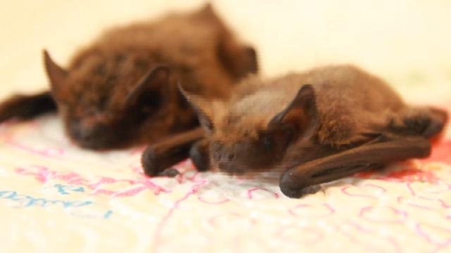 Notti in grotta per studiare i pipistrelli di Savona