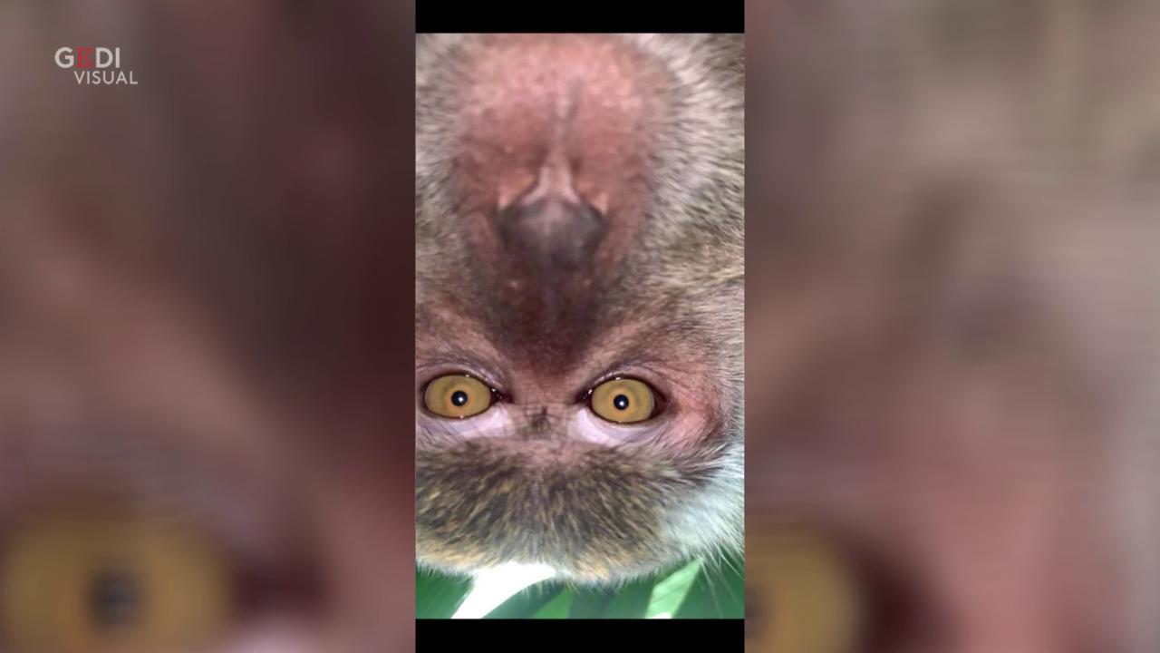 I buffi selfie delle scimmie col telefonino smarrito nella foresta malese