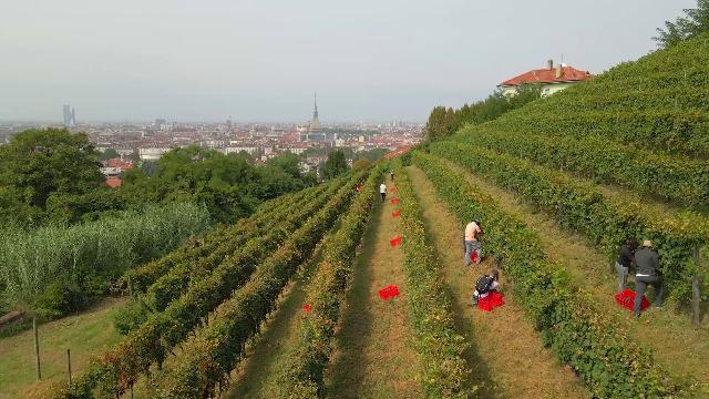 Vino di città: la vendemmia di Vigna della Regina, a un passo dal centro di Torino
