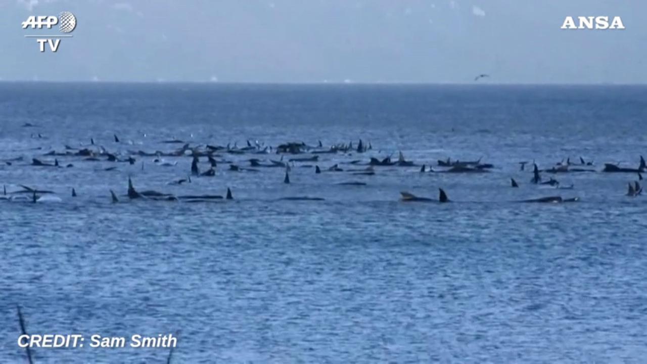 Australia, settanta balene spiaggiate in una baia: è corsa contro il tempo per salvarle
