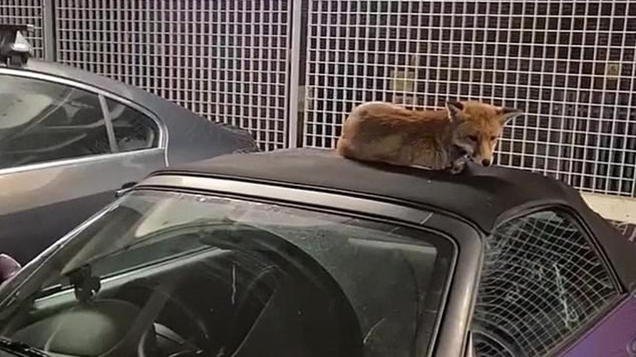 La volpe dorme impavida sulla capote dell'auto e si rifiuta di scendere