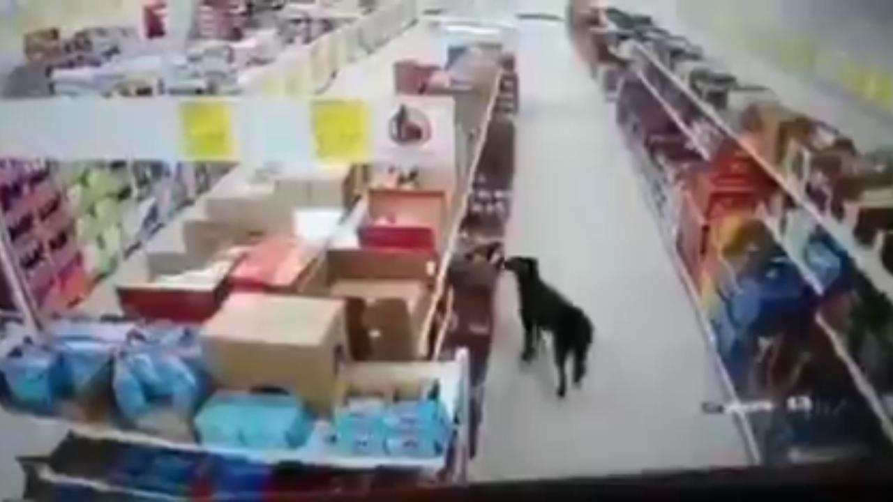 Cane ruba il cibo dal supermercato, ma prima di uscire si disinfetta le zampe