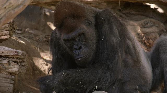 Gorilla positivi al Covid: almeno due nello zoo di San Diego (Usa) - la  Repubblica