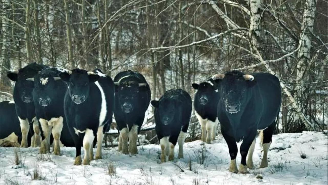 Le mucche di Chernobyl sono diventate selvatiche e hanno creato una loro struttura dove vivono in armonia