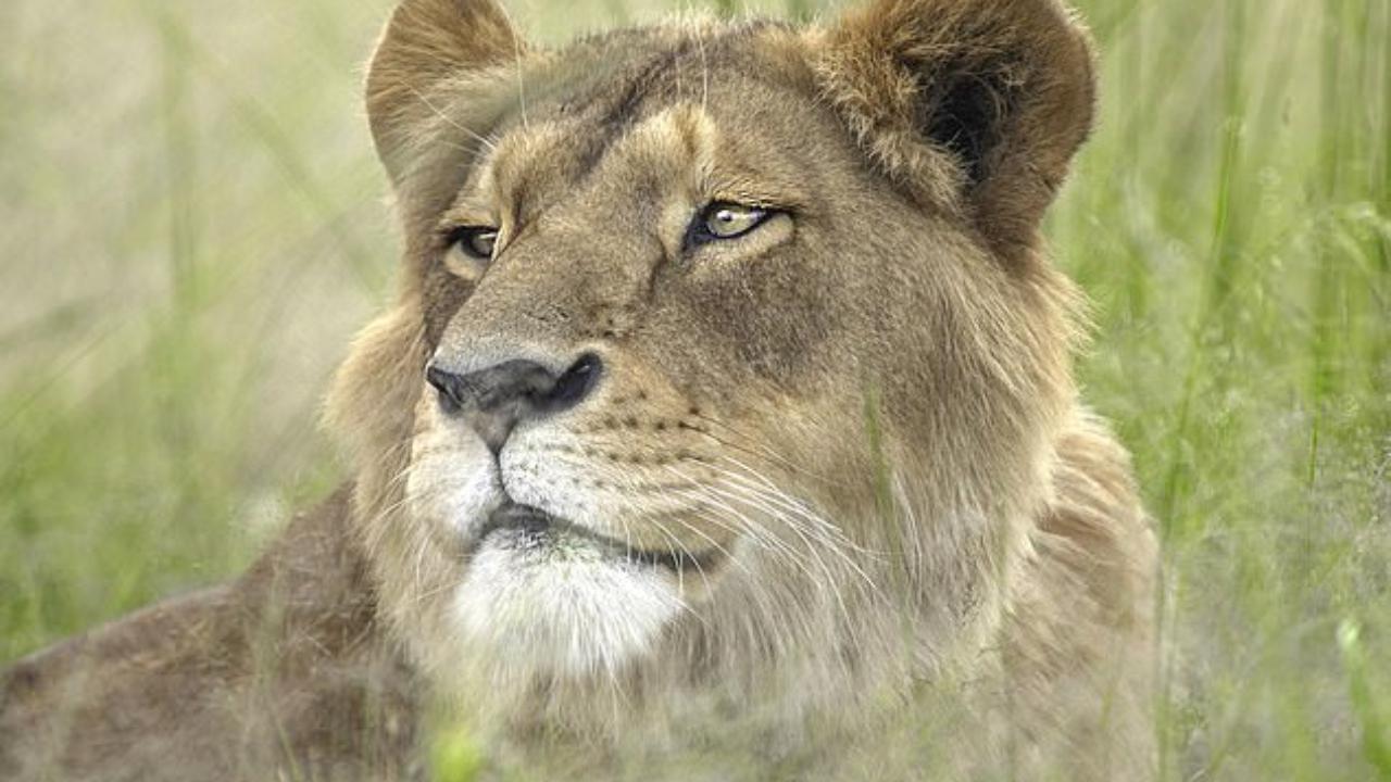 Tigri e leoni tornano a casa in Sudafrica dopo le brutalità subite nei circhi: ecco la loro nuova vita