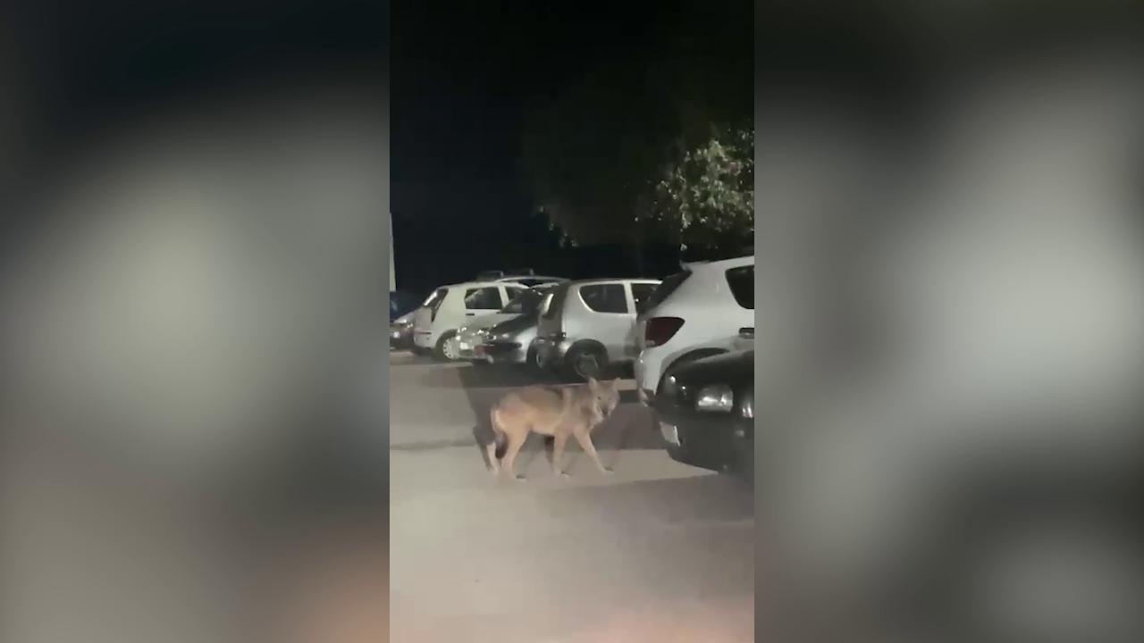Lupo avvistato nel casertano mentre passeggia tra le case. I video diventano virali