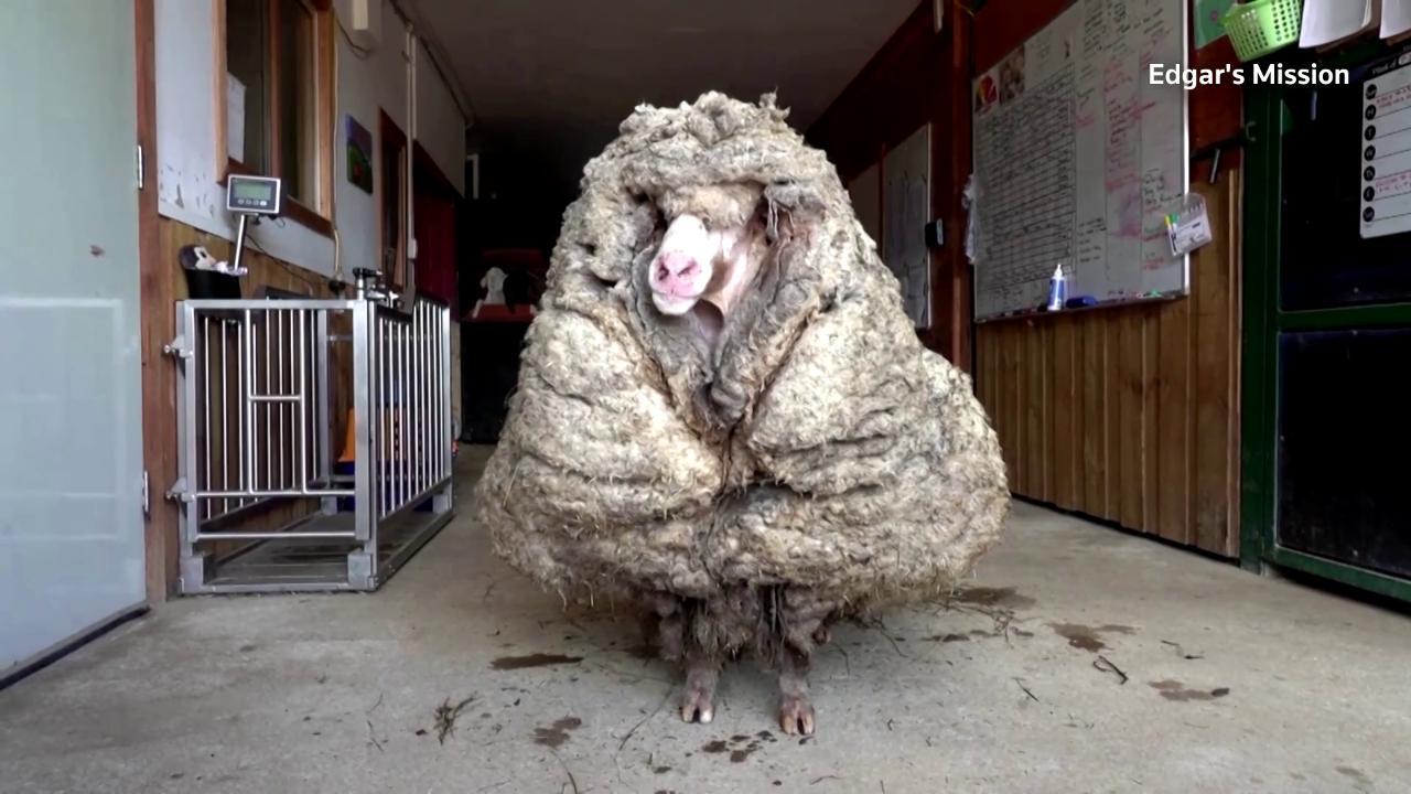 Australia, trovata una pecora selvatica con 35 kg di vello: viveva in libertà da cinque anni
