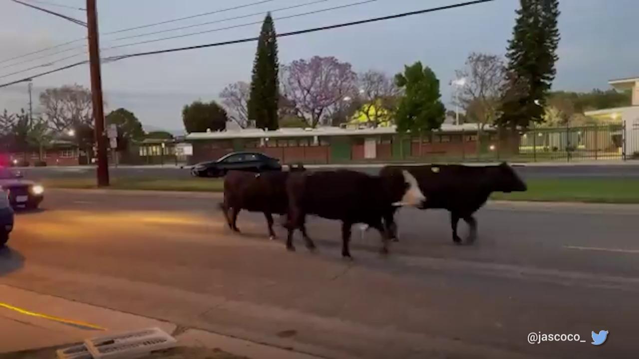 Usa, quaranta mucche fuggono da un mattatoio: la mandria paralizza un'intera città