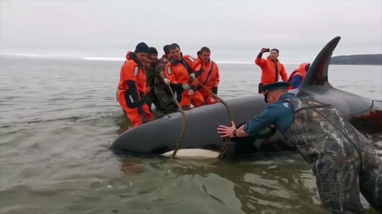 Russia, la bassa marea sorprende il cucciolo di orca ma il salvataggio è a lieto fine