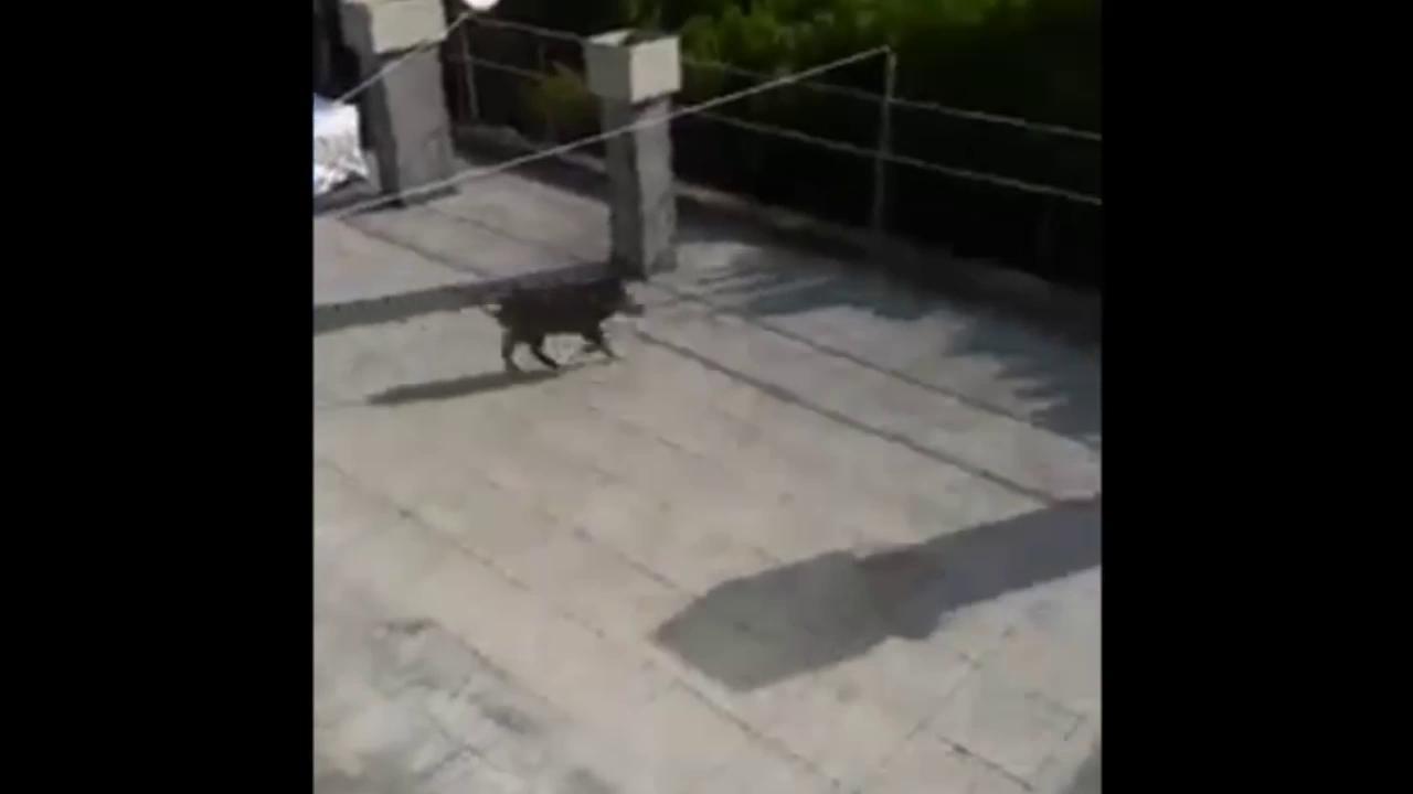 Genova, cinghiale sul tetto di un palazzo a Quinto